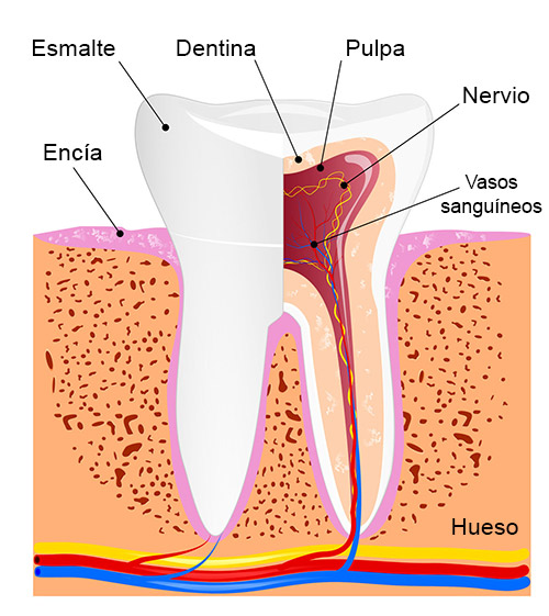 أجزاء من الأسنان